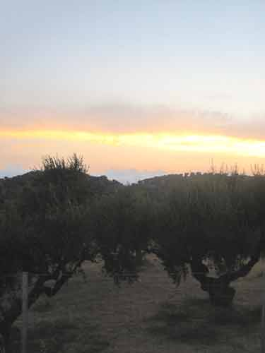 Olive Trees In Mavrovouni.