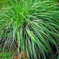 Plants That Repel Mosquitoes - Lemongrass