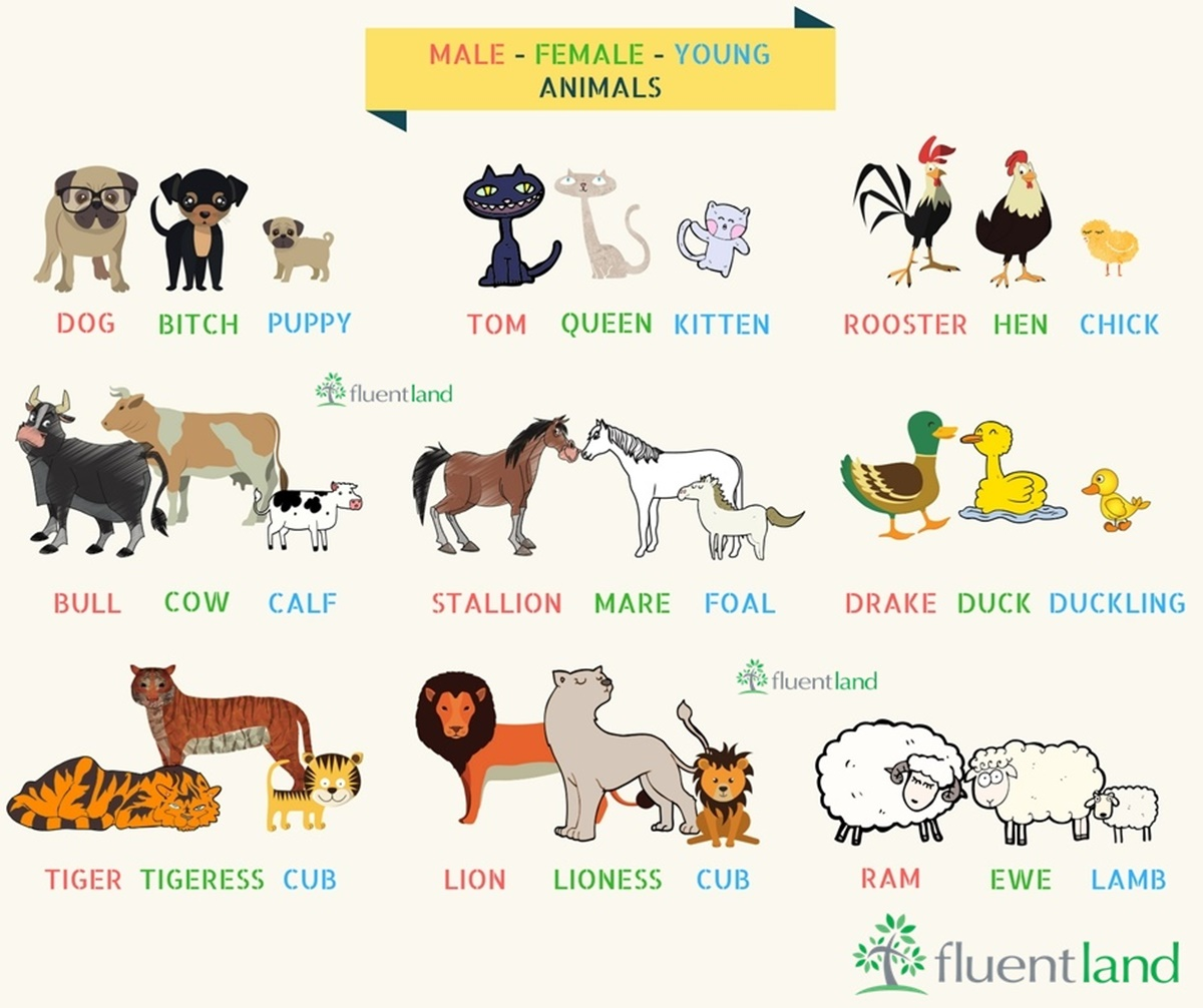 Click On Animal Names By Gender Amp Age