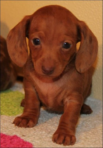 Miniature Dapple Dachshund Puppies For Sale In GA