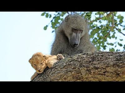 Baboon culik anak singa