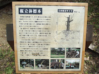 Precious old cherry tree story - Kyoto Botanical Gardens, Japan