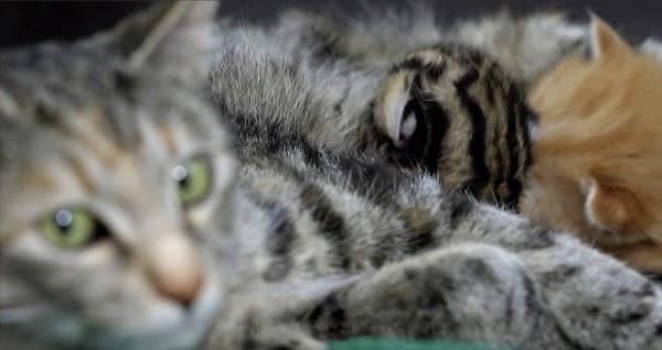 Fondo Tueri USFQ rescató ocelotes cachorros y les dio una madre sustituta