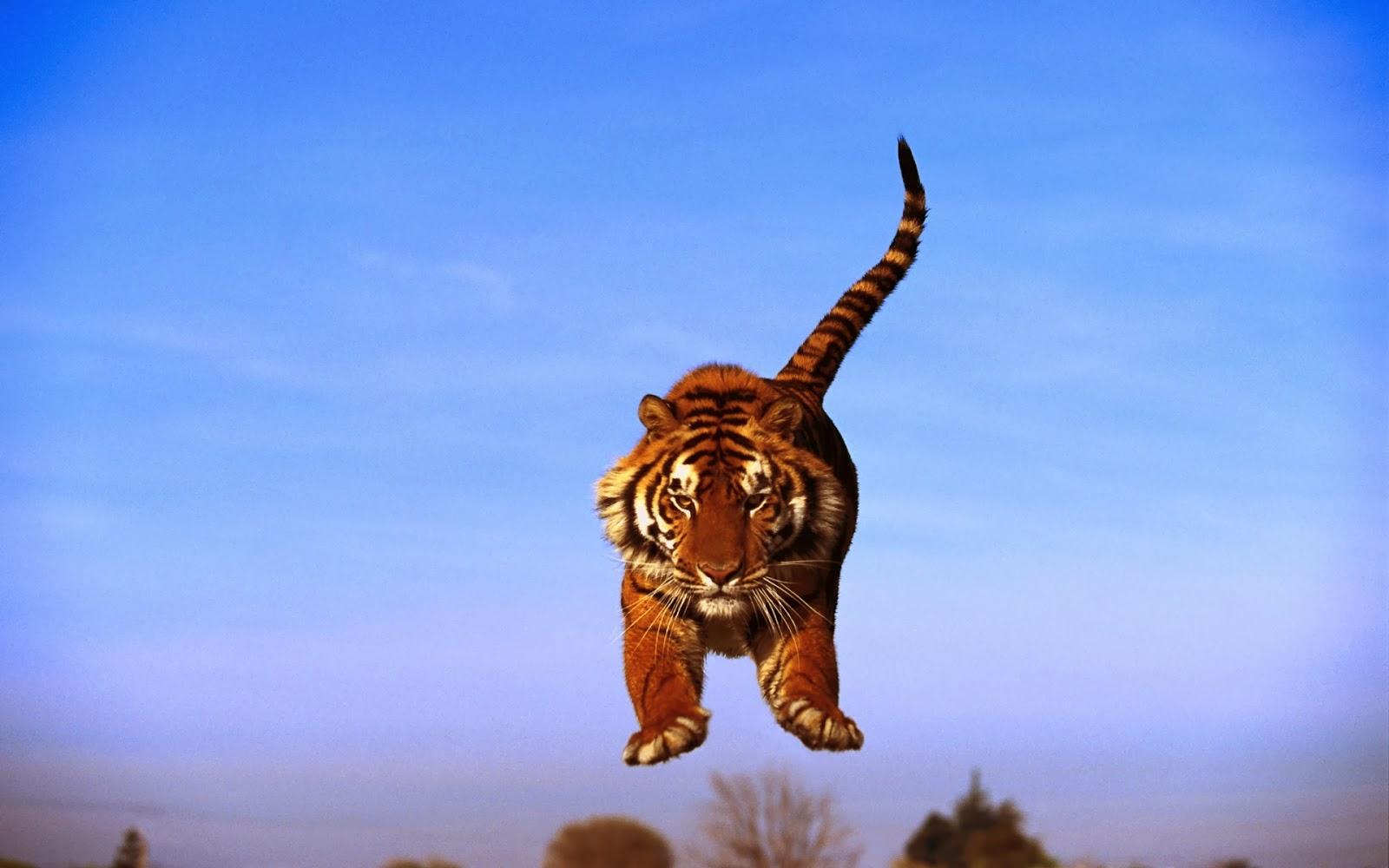 Fond Ecran Tigre hd