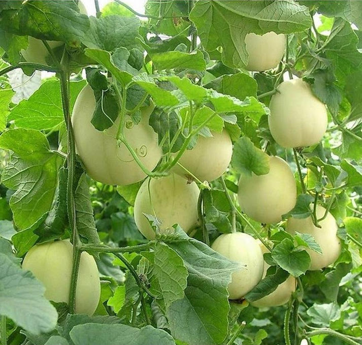 Benih Bibit Buah Melon Apel Oriental 5 benih Riau