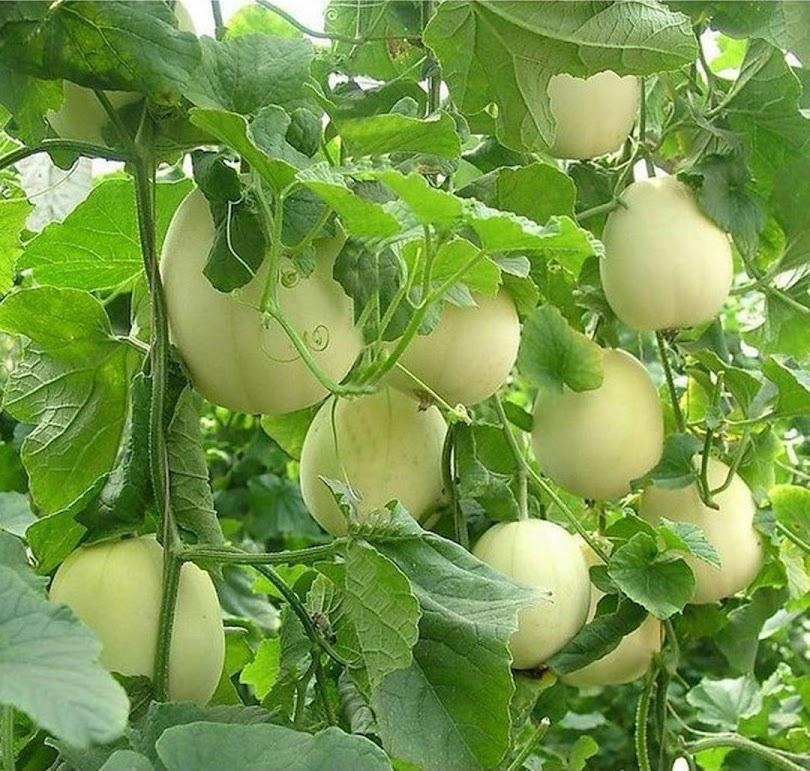 Benih Bibit Buah Melon Apel Oriental 5 benih Palembang