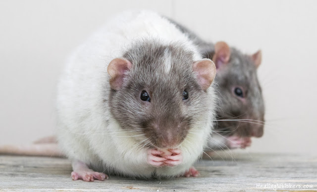 Vincent and Xavier the pet rats