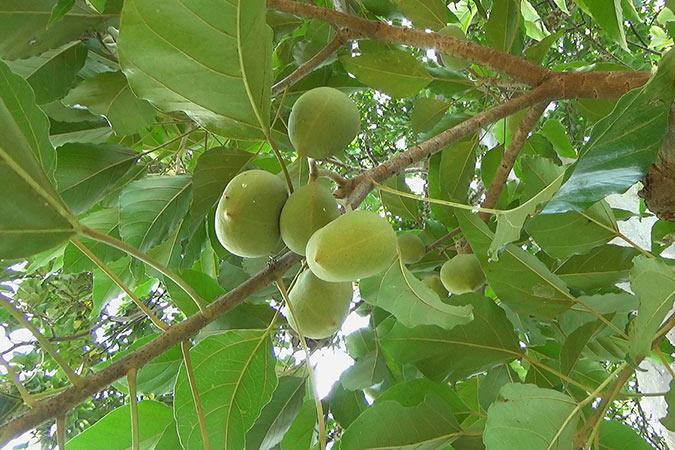 Dlium Candlenut (Aleurites moluccanus)