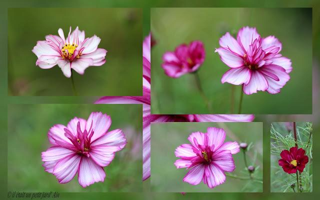 cosmos rose annuelles