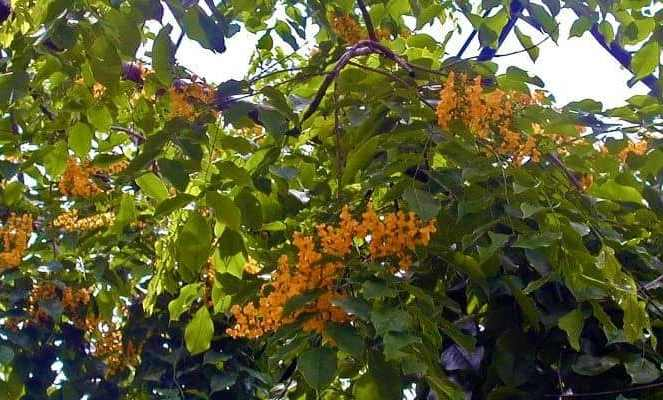 Pterocarpus Leaves Drugs Magh and Stomach Most Snipers