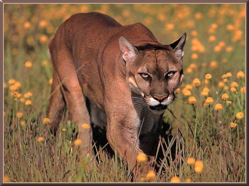 Suçuarana ou Puma (Felis concolor)