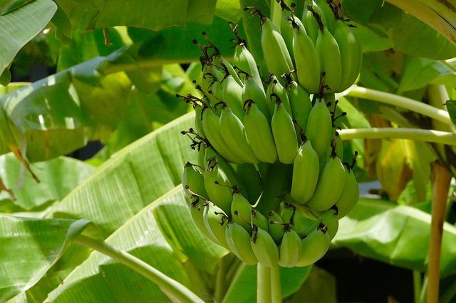 gambar pisang mentah, bergetah