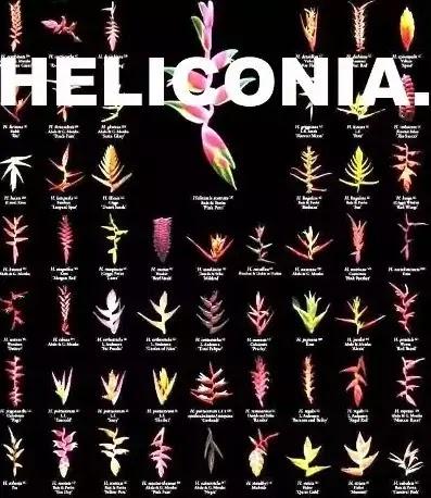 ஹெலிகோனியம் - Heliconia - Part 1.