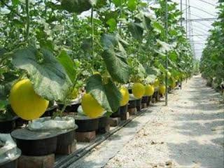 cara menanam melon dalam pot