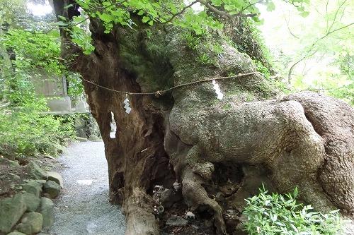 來宮神社の第二大楠