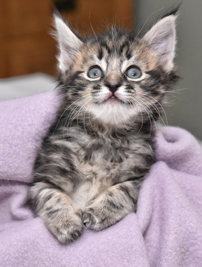 tabby kitten with Syndactylism