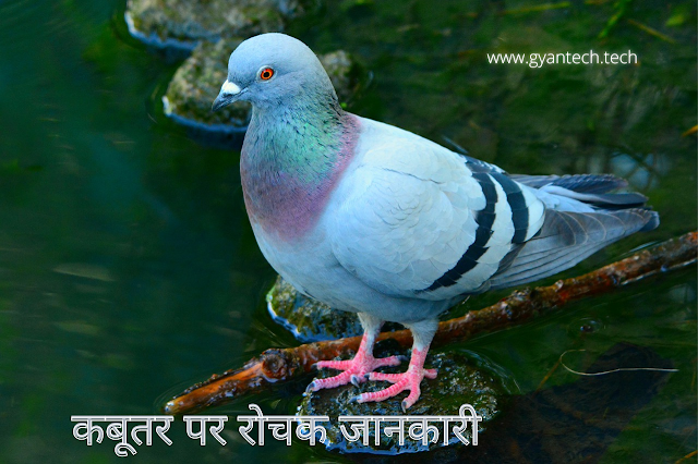 Pigeon in hindi