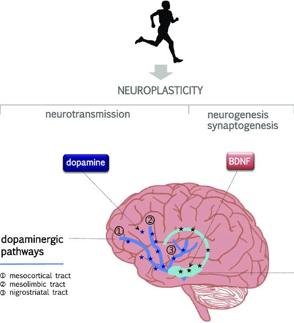 Дофамин и нейропластичность.