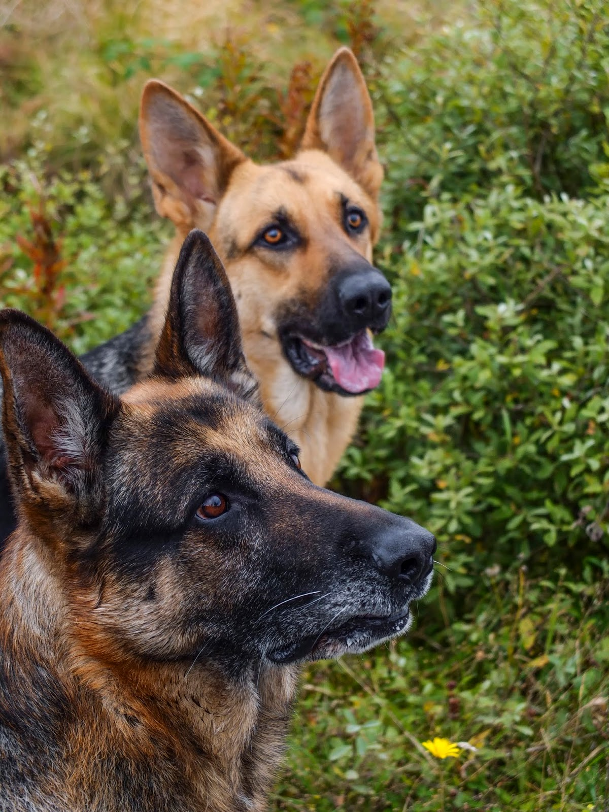 A portrait of two German Shepherds Steve and Nala looking up at something off camera.