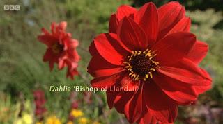 Dahlia Bishop of Llanduff