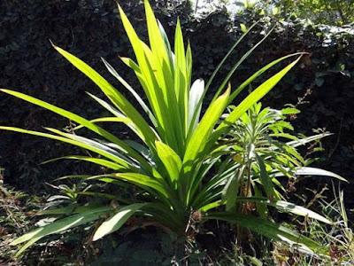 tanaman herbal daun pandan wangi