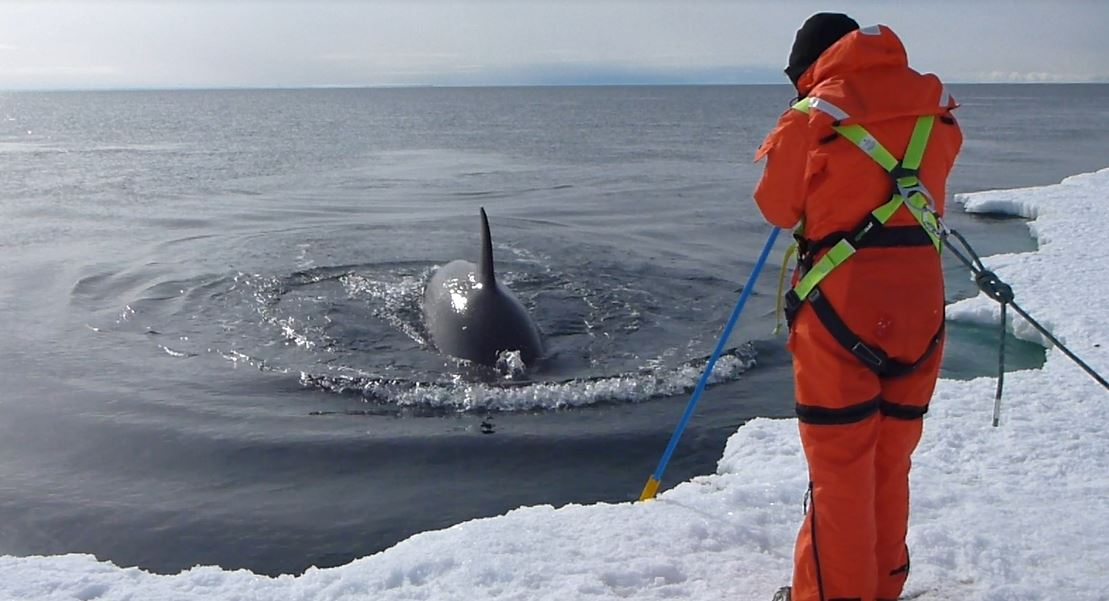 filming killer whale (orca) underwater with gopro pole