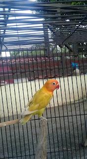 Harga Jual Lovebird Pastel Kuning