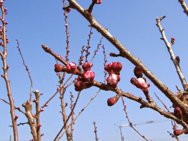 Apertura fiori albicocco