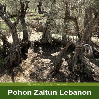 ciri ciri pohon zaitun lebanon