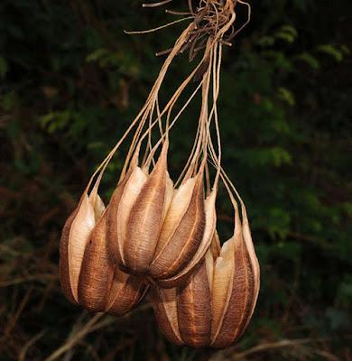 สกุลกระเช้าสีดา Aristolochia