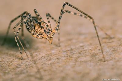 arañas argentinas Araña escupidora (Scytodes globula)