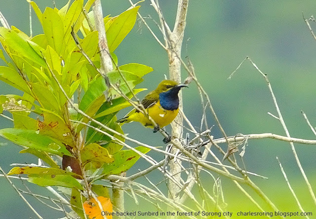 Olive-backed Sunbird in ridge forest of Sorong city, West Papua province of Indonesia