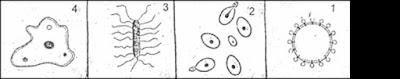 رسوما تخطيطية لبعض المتعضيات المجهرية