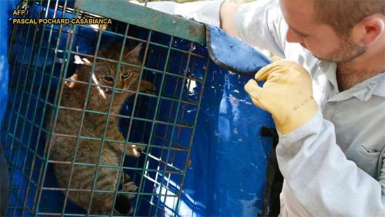 Nova espécie de Gato-Raposa que era considerada um mito foi descoberta - Img