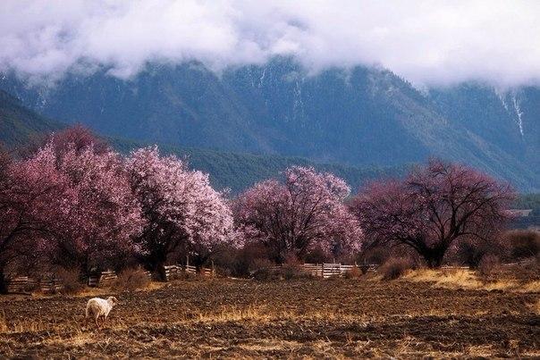 Tibet pink nature Landscape