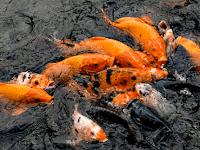 Budidaya Ikan Mas Strategi | Cara Mempercepat Pertumbuhan Ikan Mas
