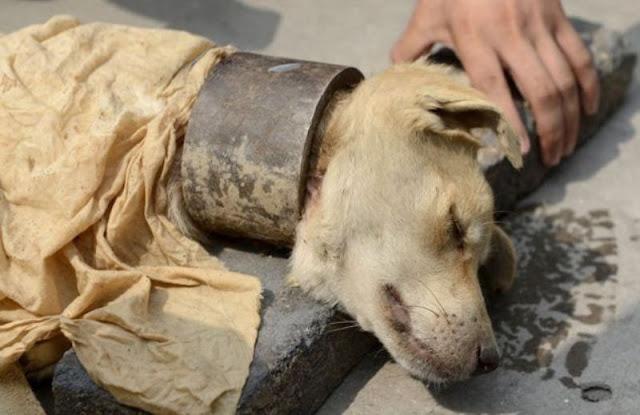 Медленная и мучительная смерть для собаки в металлическом ошейнике