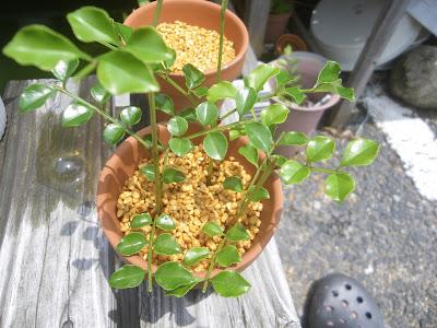 シマトネリコの挿し木