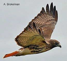 Red-tailed Hawk (adult)
