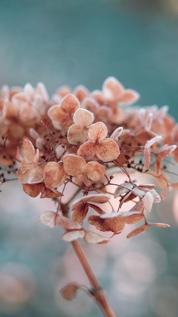 HD Wallpaper Hydrangea, Flowers, Macro