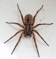معلومات عن منع لدغات العنكبوت,اخطر انواع العناكب  فى العالم ,العنكبوت الذئب,