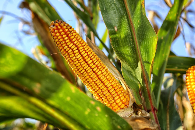 Maize Variety