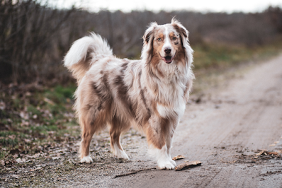 A brown, white and merle Australian Shepherd is standing on a dirt path