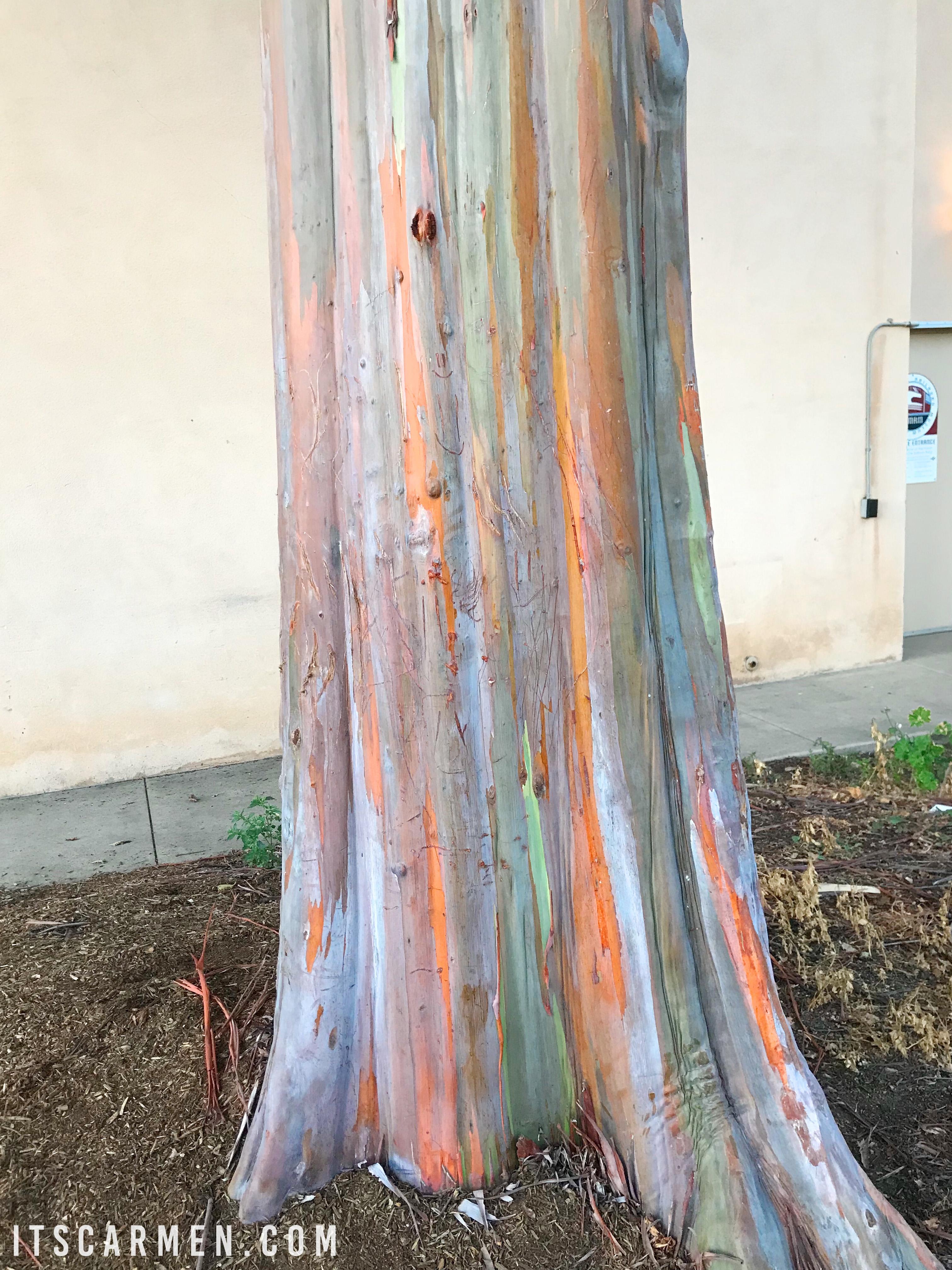 Rainbow Eucalyptus Tree In Balboa Park San Diego Carmen Varner Travel Influencer Blogging Coach Social Media Consultant