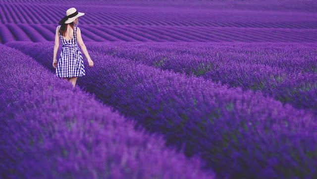 cánh đồng hoa oải hương đẹp nhất thế giới 9