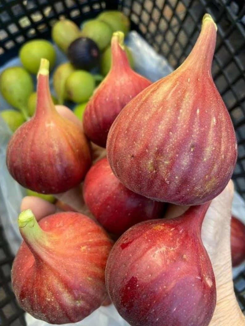 bibit buah tin merah tgf jumbo Jawa Barat
