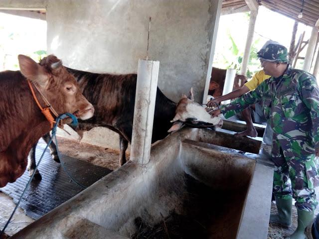 Hewan Korban Di Cek Langsung Oleh Satgas TMMD Reg 105 Kodim Klaten
