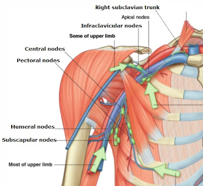 Science, Natural Phenomena & Medicine: Axilla lymph nodes and vessels