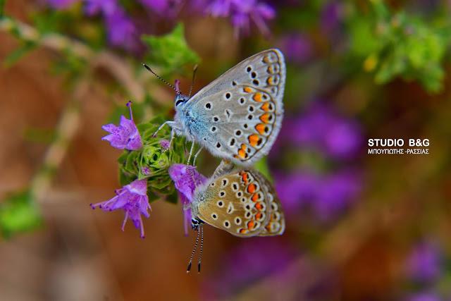 Η φωτογραφια της ημέρας: Τα ερωτικά σκιρτήματα της πεταλούδας