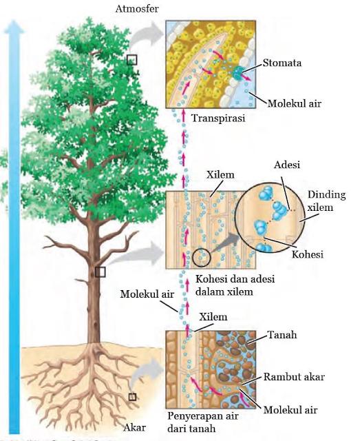 Gambar  .Pengangkutan air dari akar menuju daun